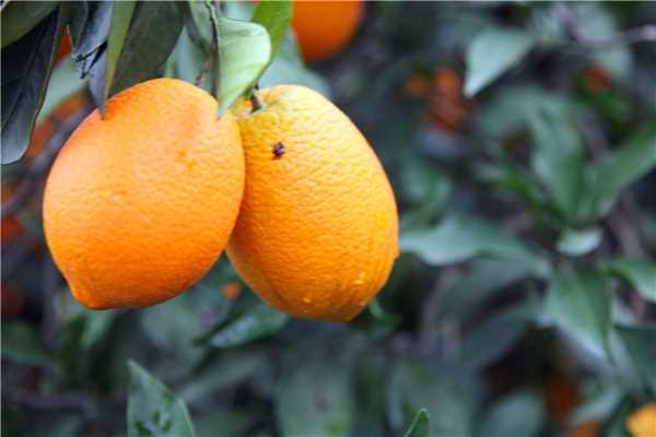 奉节朱衣镇砚瓦村农户自家脐橙10斤装包邮